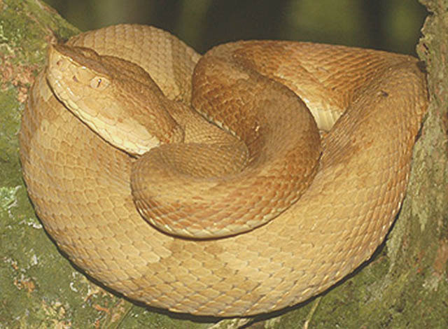 The Golden Lancehead Viper is found in dangerous Brazil.