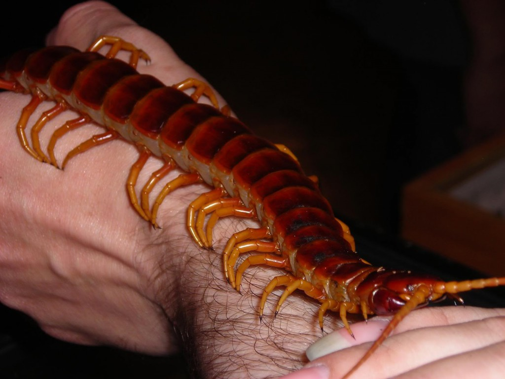 The Giant Centipede is one of many Australian animals that will kill you.