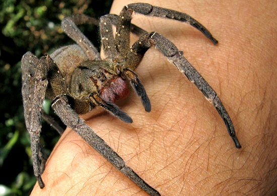 The deadly wandering spider is found in dangerous Brazil.