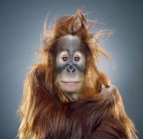 This orangutan posing is one of the best funny animal photos.