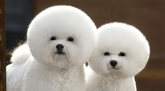 Dogs with fuzzy fur.