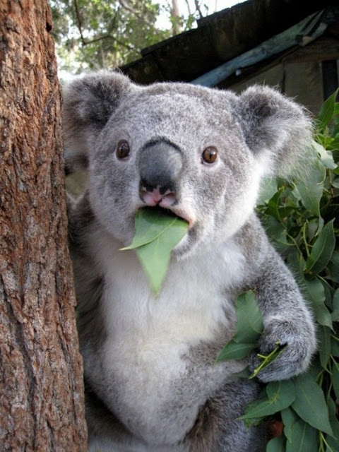 This surprised koala is one of the best funny animal photos.