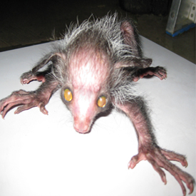 the ayeaye is one of the worlds most bizarre animals