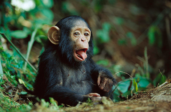 Baby chimpanzee poking it's tongue out.  Chimpanzees are cute animals that can kill you.