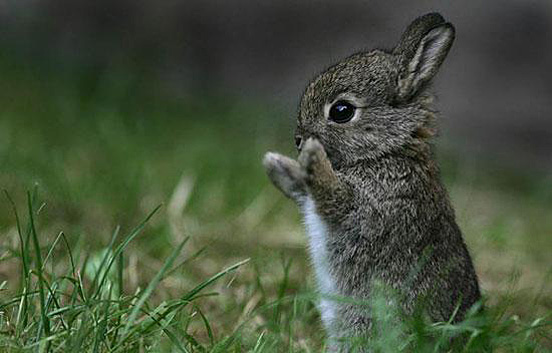 This cute baby rabbit is standing on two legs wiping it's little nose with it's paws.