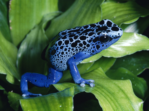 A blue Poison Dart Frog with black spotted pattern. These frogs are cute animals that can kill you