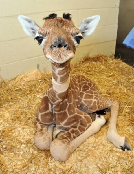 A cute baby giraffe smiling at the camera while sitting on a bed of hay.