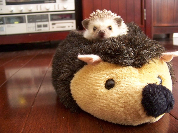 This cute baby hedgehog is taking a nap on a stuffed teddy bear.