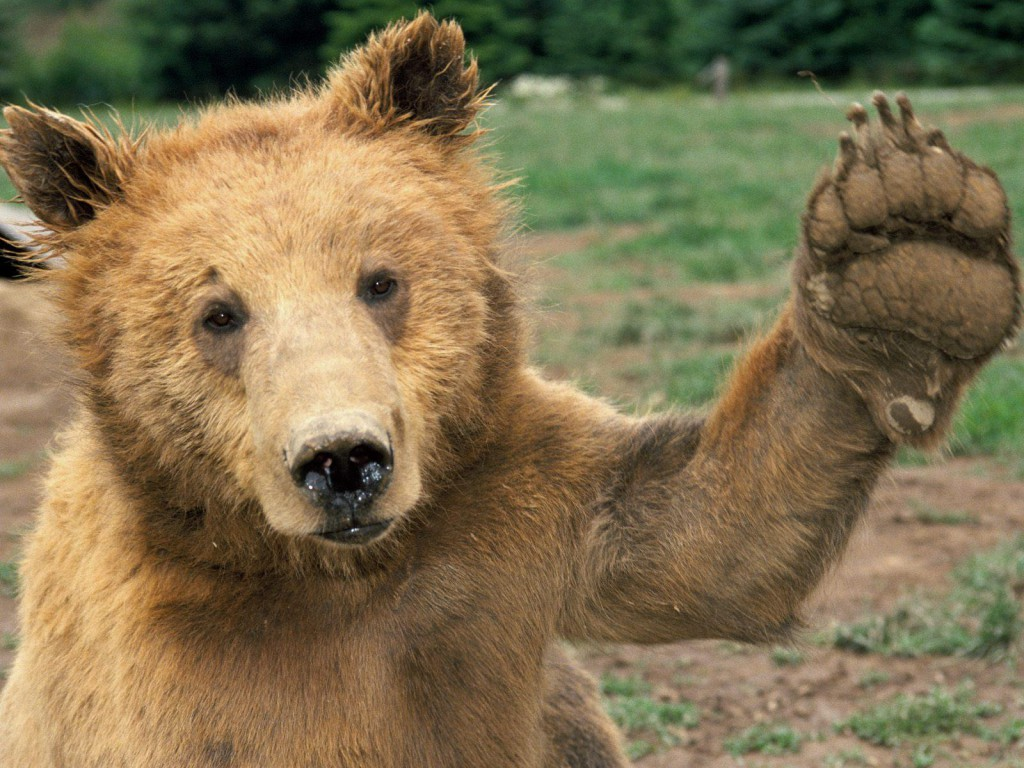 A bear waving it's hand. Bears are cute animals that can kill you