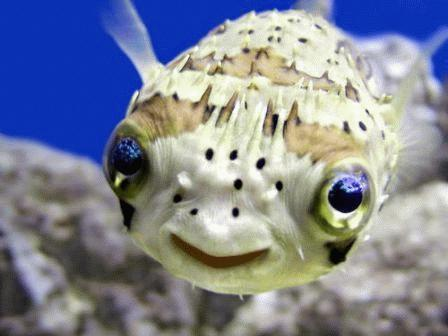 A little Puffer Fish smiling. These fish are cute animals that can kill you