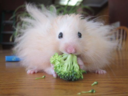 This cute baby hamster with fuzzy hair is munching on some broccoli.