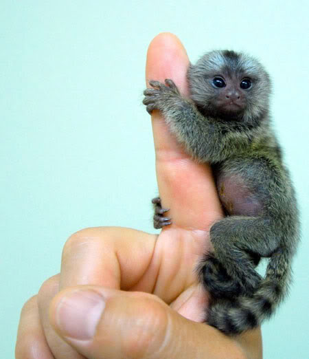 This very small, cute baby monkey is only as big a a man's finger.