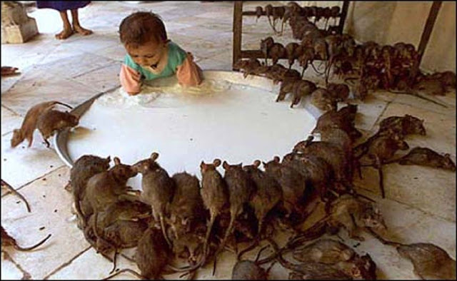 The Temple of The Rats is one of the strangest tourist attractions in the world.