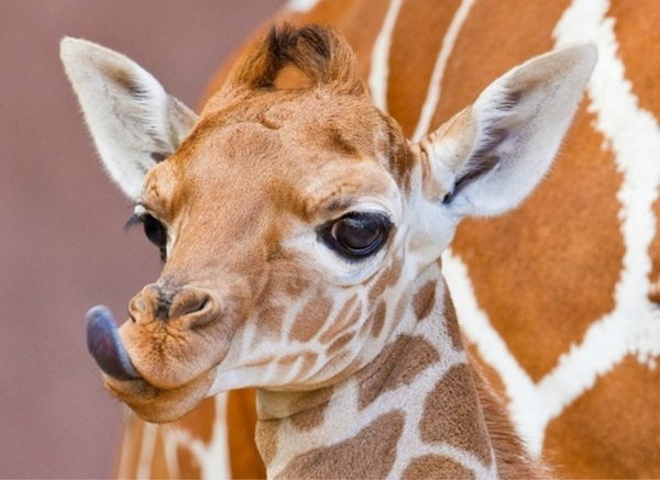 A baby giraffe licking his lips is definitely one of the cute baby animals of Africa.