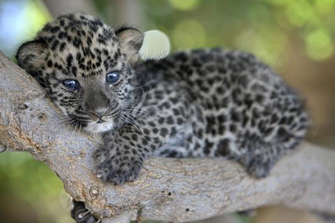 Baby Leopard lying in a tree.