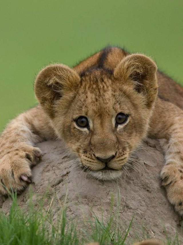 A baby lion cub lying on a rock is one of the cute baby animals of Africa.