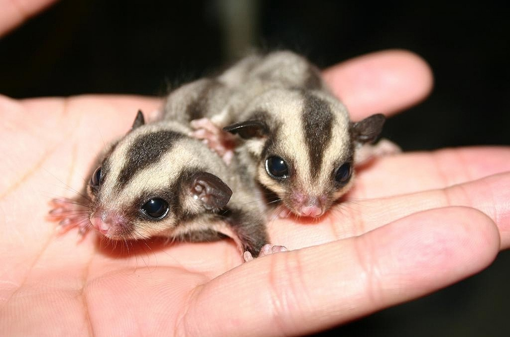 Two baby Australian sugar gliders in a man's hand.