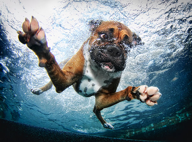 Boxer dog underwater in the swimming pool.