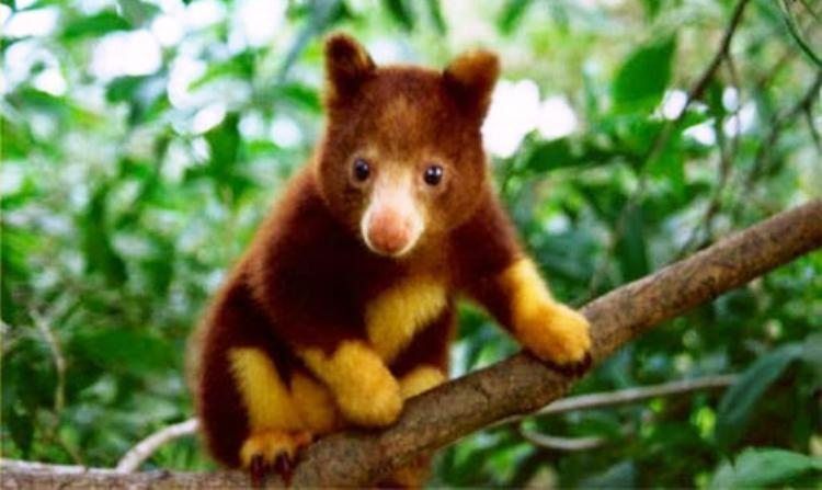 Cute tree kangaroo
