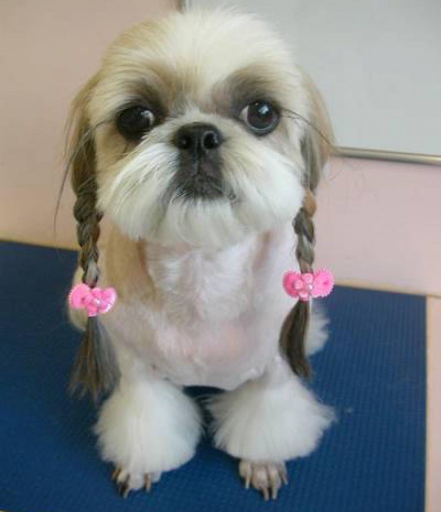 Dogs with human hairstyles look funny. This dog has cute pigtails.