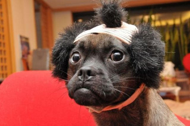 Dogs with human hairstyles look hilarious. This dog looks like Mr T.