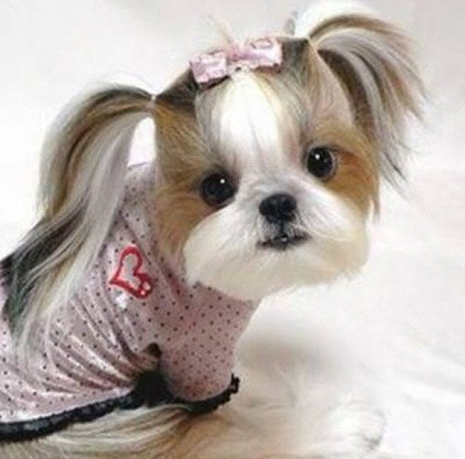 A cute dog with long pigtails.