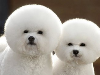 Two dogs with afro hairstyles.