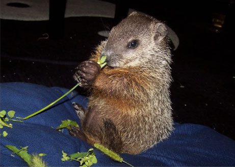 A baby groundhog eating some wheat.