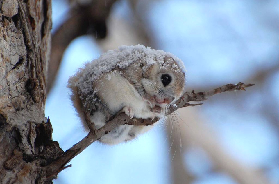 A photo of a pygmy Japanese flying squirrel with snow on it's back sitting on a branch.
