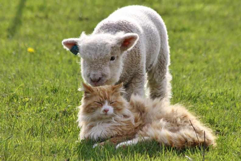 A photo of a miniature sheep standing behind a cat.