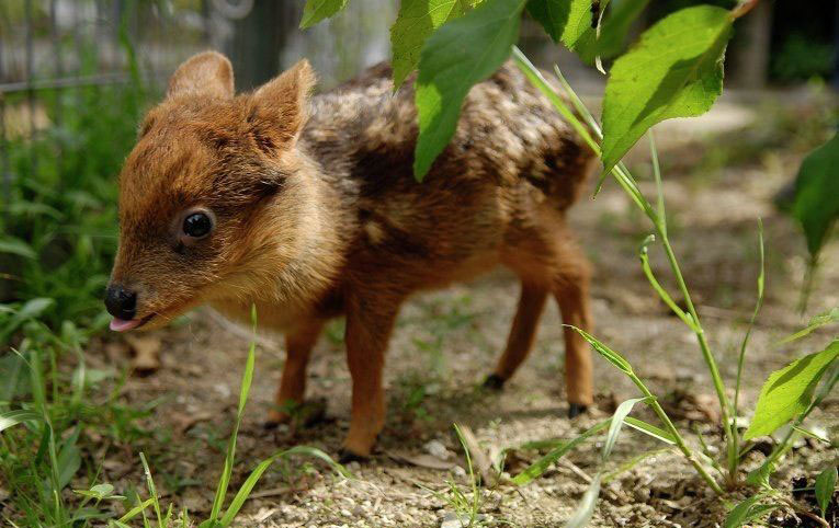 The smallest deer in the world born at Queen's Zoo, New York.