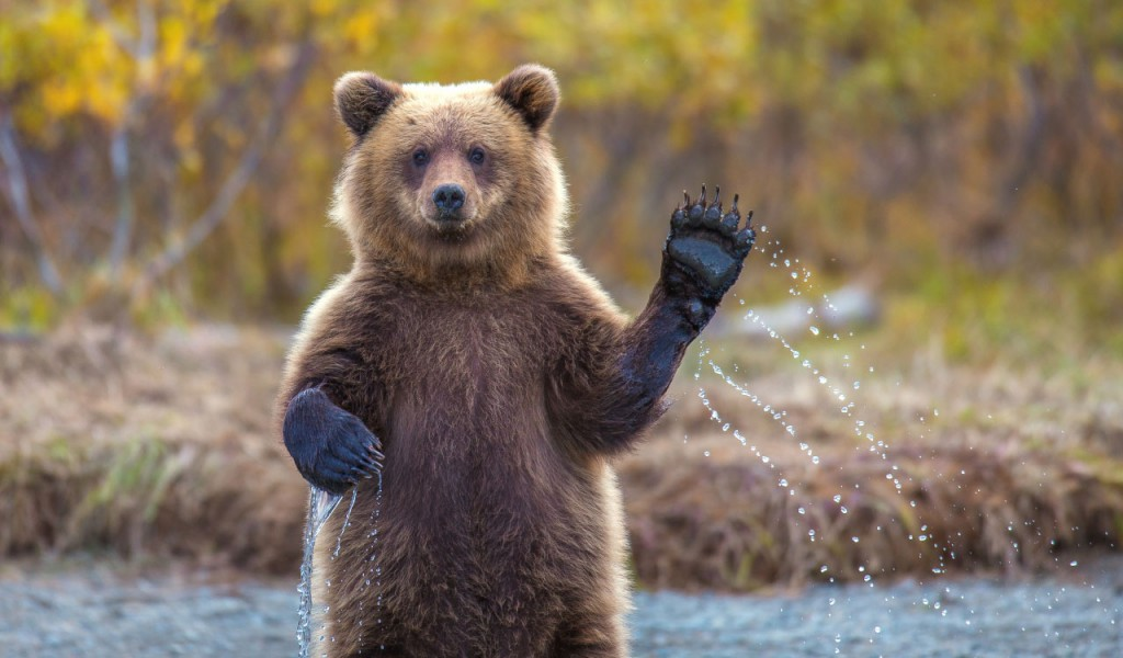This bear waving it's paw is one of the cute baby animals of America.