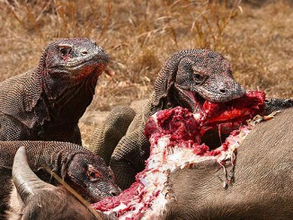 The Komodo Dragon is an Asian animal that will kill you