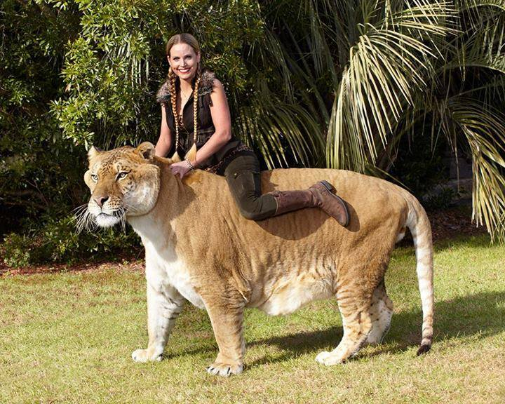 The Liger is the world's largest cat.