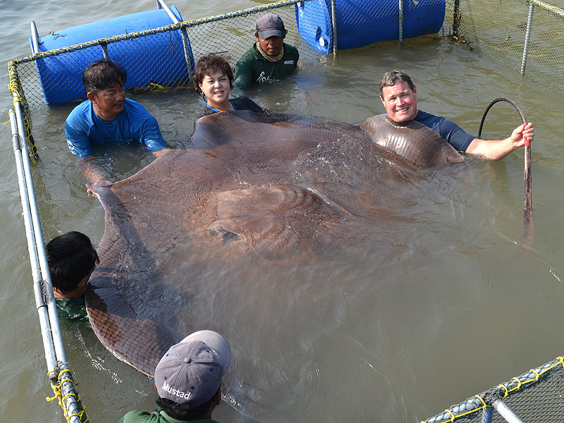 The giant stingray is the world's largest freshwater fish.