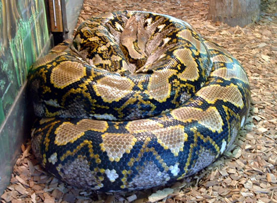 A large reticulated python curled up.