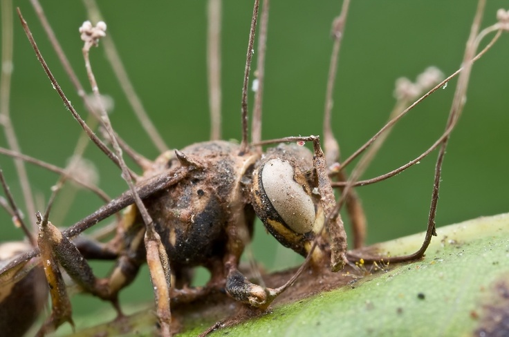Ophiocordyceps Unilateralis is one of the most horrifying parasites on the planet.