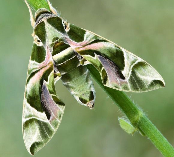 Oleander hawk moth displaying its wing pattern - World's Cutest And Most Colourful Insects.