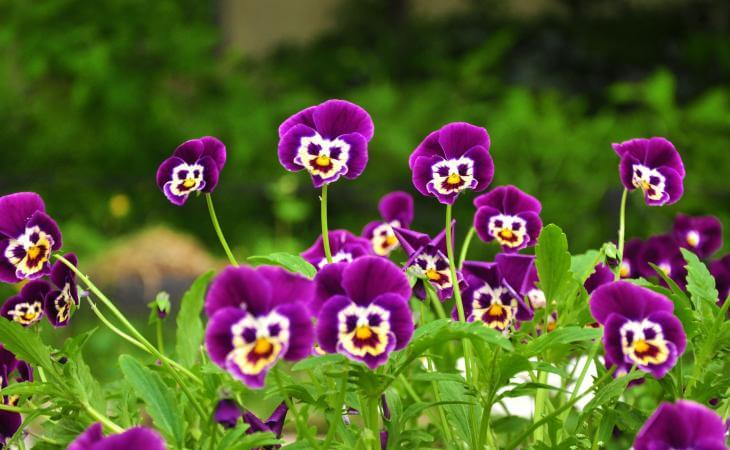 Purple pansies that look like they are smiling - The Trees Have Eyes