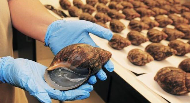 Giant African snails found by security at Los Angeles International Airport - 10 Strangest Things Found By Airport Security