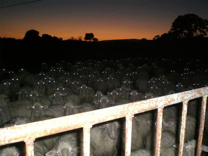 A Photo Of Many Sheep With Glowing Eyes - 10 Eerie Photos That Will Send Shivers Down Your Spine