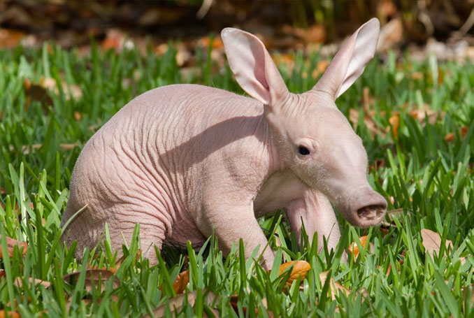 Baby anteater - 10 funniest looking animals on Earth