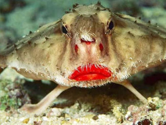 The Red Lipped Batfish is one of the strangest sea animals in the ocean.