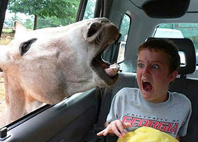 A photo of a donkey with it's head in a car window scaring a boy - 20 Funny Animal Photos You Have To See