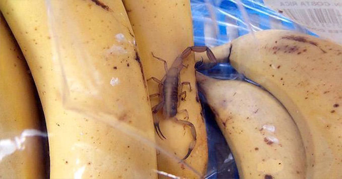 Scorpion found in bunch of bananas - Most Disgusting Things Ever Found In Food
