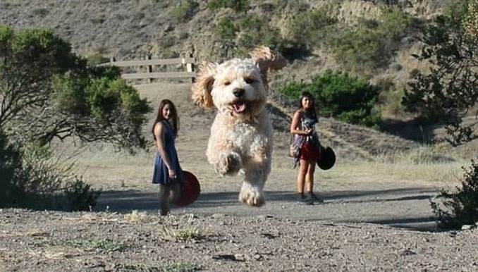 A photo of a giant dog running between two women.