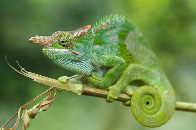 A green chameleon on a tree branch.