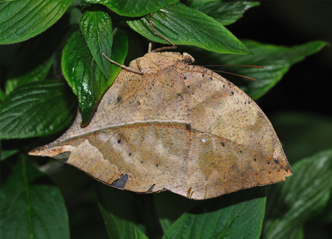 The dead leaf butterfly resting on a plant.