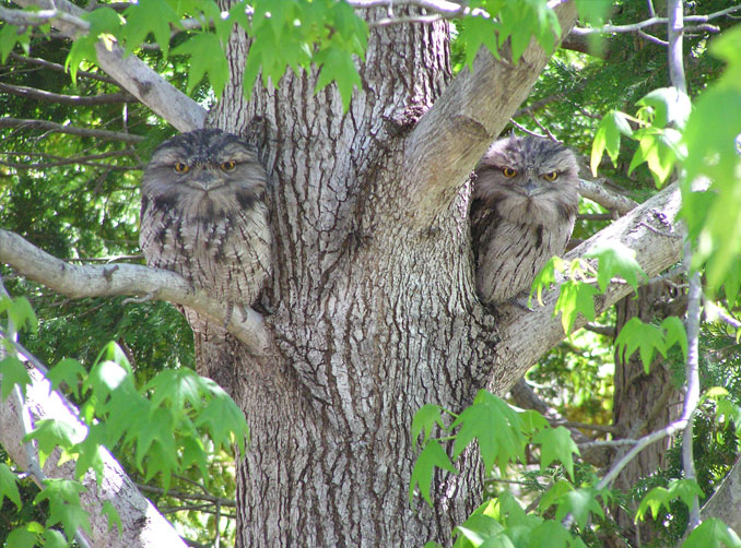 Two tawny frogmouths perched in a tree.