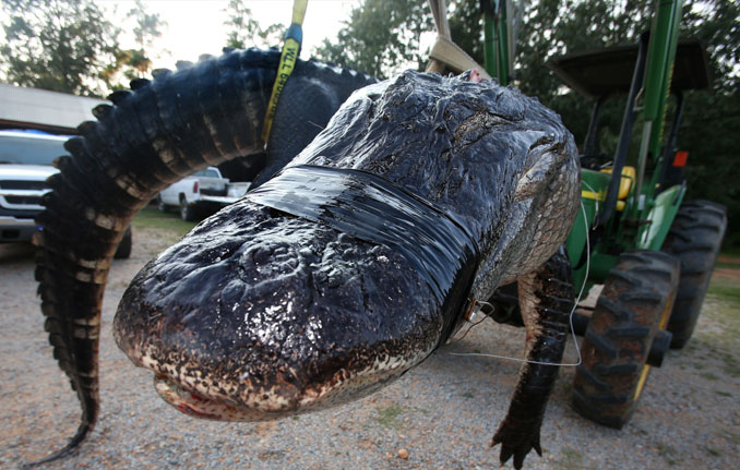 A repairman found a 200 pound alligator in the basement of a house in Lansing, Illinois.